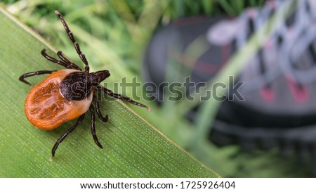 Lurking deer tick and foot in hiking boot on green grass. Ixodes ricinus. Parasitic insect questing on natural leaf over human leg in running shoe. Health risk of tick borne diseases as encephalitis. #1725926404