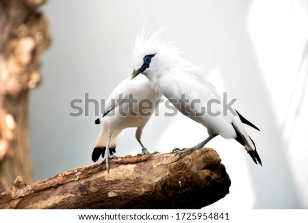 The Bali myna (Leucopsar rothschildi), white bird with blue eyes patch and black tips on the wings and tail