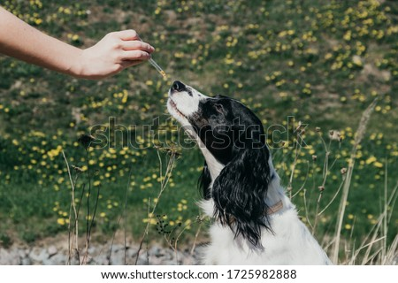 CBD oil drop falling at the cute dog's nose #1725982888