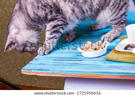 A beautiful gray cat is playing with a piece of cane sugar on a table with coffee utensils. #1725996616