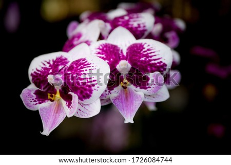 Close up picture of moth orchid flowers blooming in the greenhouse. Macro. Orchid pattern. Orchid selective focused background