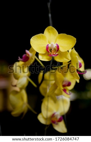 Close up picture of Yellow Cymbidium Orchids (boat orchid) flowers blooming in the greenhouse. Macro. Orchid pattern. Orchid selective focused background