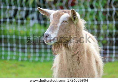 Close, detailed three quarter profile of a Toggenburg or Toggenburger dairy goat standing in the meadow.  #1726086904