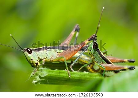 A grasshopper on a green leaf, grasshopper meadow.
