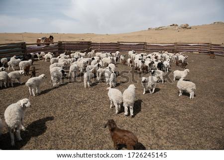 Baby Sheep, Baby Goat, Mongolia #1726245145