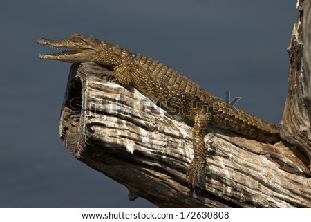 Baby nile crocodile basking in the sun on a tree branch with it's mouth open #172630808
