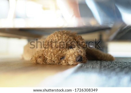 Poodle Dog Cute. Toy.  Close Up Portrait Picture. Puppy Dog. sleeping under sofa. sleeping and looking into the camera.