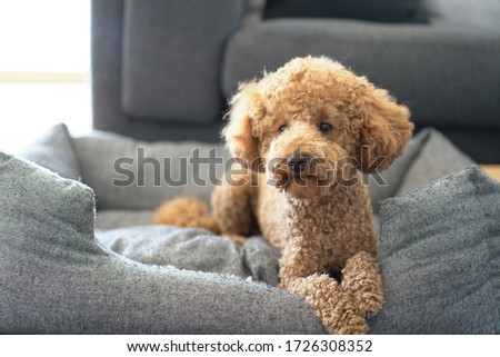 Poodle Dog Cute. Sitting. Toy.  Close Up Portrait Picture. Puppy Dog. lying in his bed. head up.
