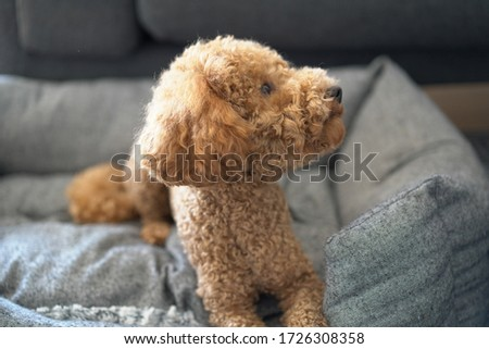 Poodle Dog Cute. Sitting. Toy.  Close Up Portrait Picture. Puppy Dog. looking to the right. head up to the right side. closer look