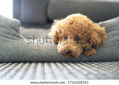 Poodle Dog Cute. Sleeping. Bed. Dog Bed. Toy. Close Up Portrait Picture. Puppy Dog. Looking into Camera.