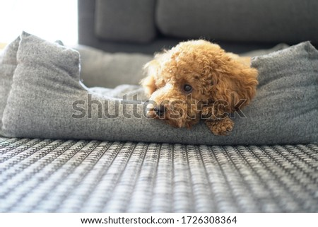 Poodle Dog Cute. Sitting. Toy.  Close Up Portrait Picture. Puppy Dog. Relaxing in dog bed. fluffy. brown poodle. looking left . sad. dreamy. sleepy