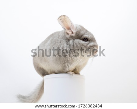 Cute furry chinchilla sitting on a tube white studio background