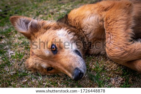 Close up picture of a dog that looks like a fox