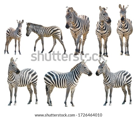adult and young zebra isolated on white background Royalty-Free Stock Photo #1726464010