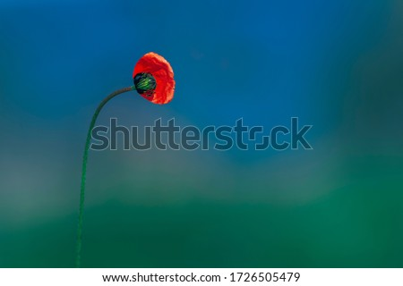 poppy on a background of green grass, blooming poppy, red poppy, flowering poppy on a background