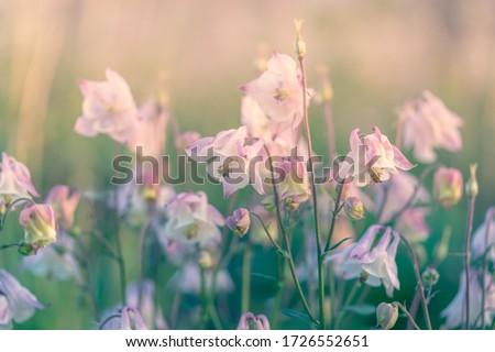 White purple Aquilegia gentle flowers. Columbine, granny's bonnet back lit flowers. Pastoral landscape inspiration image. Backlit flowers sunshine background. Lilac wild flowers defocused photography.