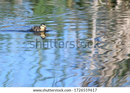 Mallard chicks and their reflections in the lake