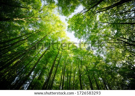 Forest, lush foliage, tall trees at spring or early summer - photographed from below Royalty-Free Stock Photo #1726583293