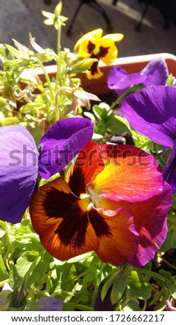 Multi color pansy flowers. Pansy flower close-up. Bright background of flowers in the grass.