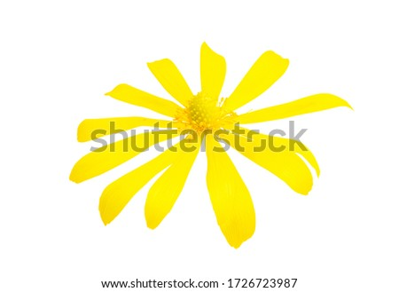 yellow spring flower isolated on white background #1726723987