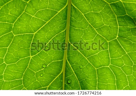 Green leaf texture closeup. Floral abstract natural background. Plant vein on a leaf and water droplets after rain. Macro of horseradish leaf background. Phone Screensaver