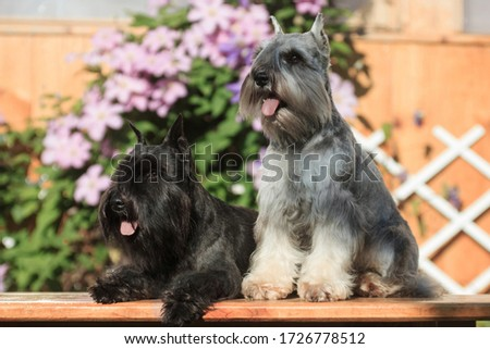 Gray and black miniature schnauzer dogs are sitting next to a bench in the summer at a summer cottage outdoors against a background of greenery and flowers #1726778512