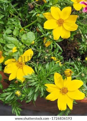 Garden Cosmos Sulphureus Ladybird Dwarf Lemon or bright yellow Cosmea flowers, close up. Cosmos Bipinnatus or Mexican Aster is popular, herbaceous, flowering plant in the sunflower family, Asteraceae. #1726836193