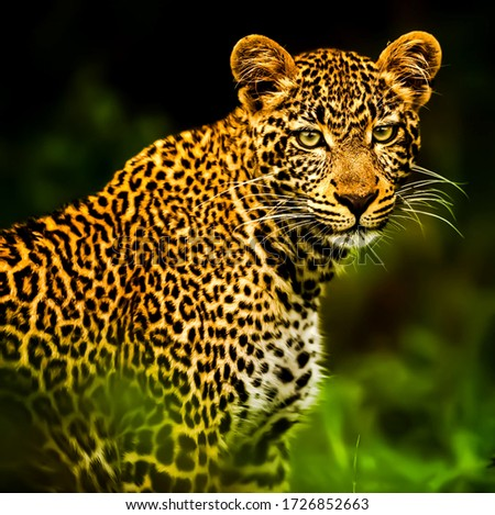 beautiful picture of leopard in wildlife