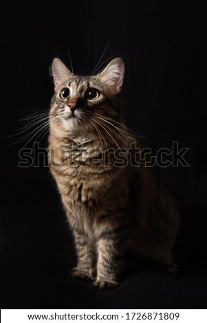 Black background studio cat portrait