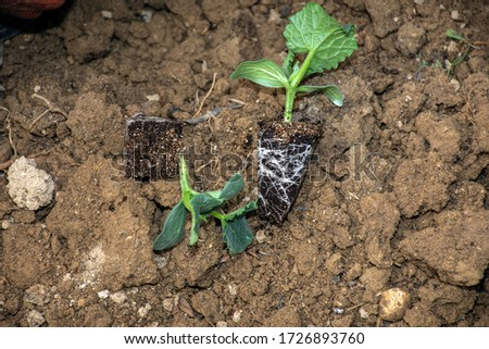 cucumber sapling on the soil #1726893760