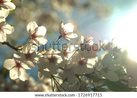 Beautiful cherry blossoms are blooming in Spring #1726917715