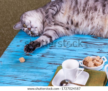A beautiful gray cat is playing with a piece of cane sugar on a table with coffee utensils. #1727024587