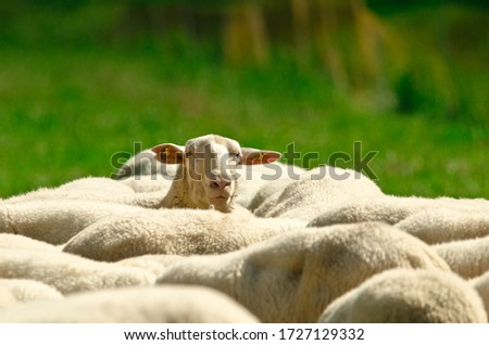 One sheep is lookink across the backs and ridges of a herd of sheep with white wool standing in a green meadow Royalty-Free Stock Photo #1727129332