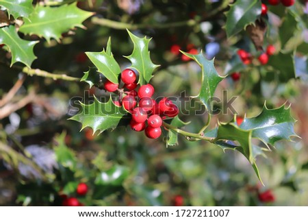 Ilex, or holly, It is a genus of small, evergreen trees with smooth, glabrous, or pubescent branchlets. The plants are generally slow-growing. #1727211007
