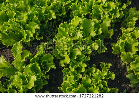 Lettuce leaves in the garden. Healthy lettuce growing in vegetable garden. Green salad. Fresh lettuce, close up lettuce. #1727221282