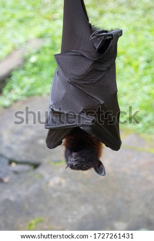 The flying fox is sleeping, hiding with its wings upside down.Funny picture of an exotic animal.