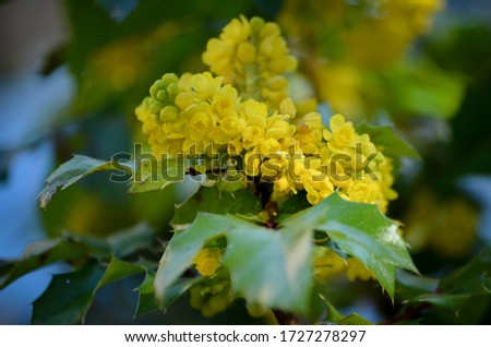 Mahonia with holly leaf flowers #1727278297
