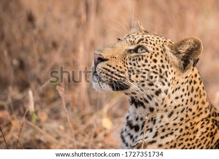 Leopard staring into the sky #1727351734