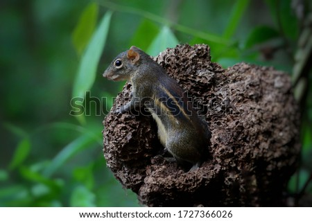 Squirrel is the rodentia animal. It has insects or fruits. This picture is findind some food in termite nest and green background.