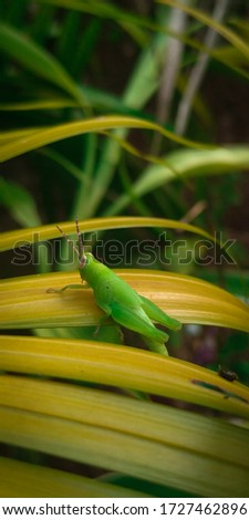 GRASS HOPPER THE PICTURE OF BIRDS AND INSECTES