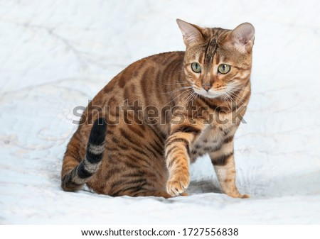 А beautiful golden-colored bengal cat on a white background Royalty-Free Stock Photo #1727556838