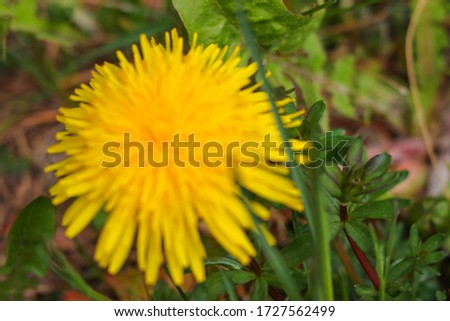Dandelion macro photo. Yellow dandelion flower. Green dandelion leaves. Out of focus