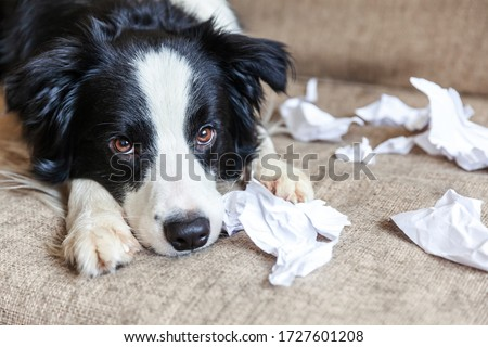 Naughty playful puppy dog border collie after mischief biting toilet paper lying on couch at home. Guilty dog and destroyed living room. Damage messy home and puppy with funny guilty look Royalty-Free Stock Photo #1727601208