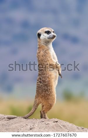 Meerkat standing looking for something.  Suricata suricatta wild predators in natural environment. Wildlife scene from nature