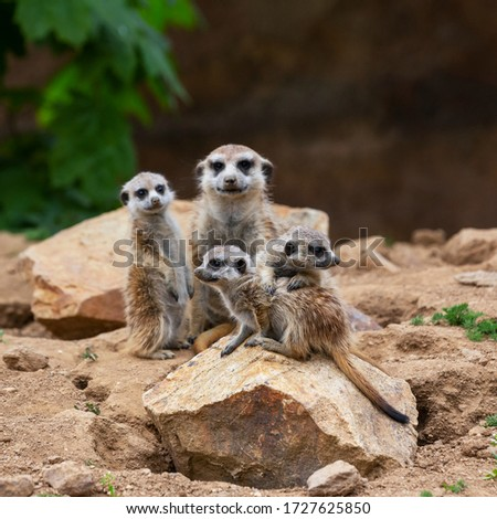 Meerkat - Suricata suricatta - Cubs with adult meerkats sitting on a stone and looking into the distance, beautiful brown background.