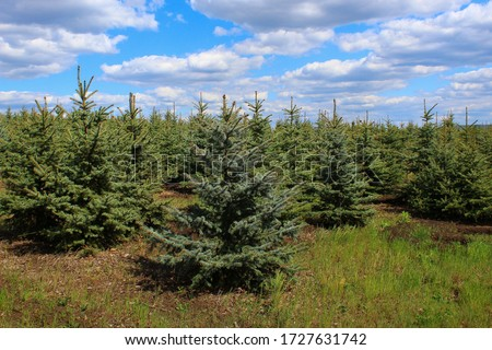 Spruce nursery with young conifers that will decorate the New Year or Christmas #1727631742