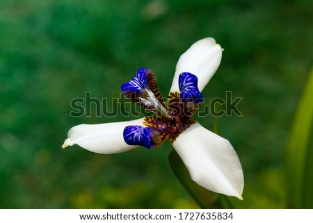 Beautiful Neomarica gracilis flowered in spring, flower that blooms only one day, then dies eight pic