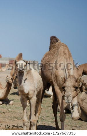 Mother camel and her son #1727669335