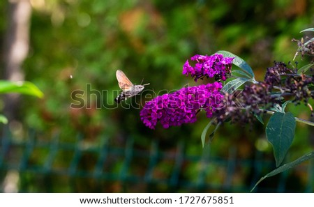 An Amazing Hummingbird Moth flying around some flowers getting some nectar.