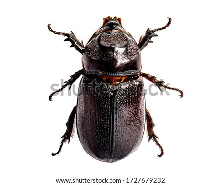The Asiatic coconut palm rhinoceros beetle insect isolated on white background. Royalty-Free Stock Photo #1727679232